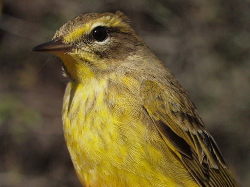 Yellow Palm Warbler